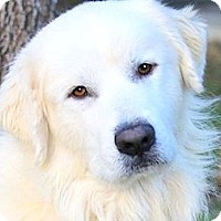 Adopt A Pet :: GHOST(PB GREAT PYRENEES-WOW!! - Wakefield, RI