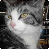 Adopt A Pet :: Shacha - Riverside, RI