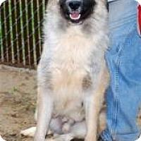 Adopt A Pet :: Bear - New Boston, NH