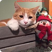 Domestic Shorthair Cat for adoption in Southeastern, Pennsylvania - Saddles COURTESY POST