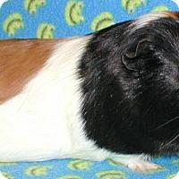 Adopt A Pet :: Davinci - Steger, IL