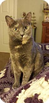 Domestic Shorthair Cat for adoption in Webster, Massachusetts - Sprinkles