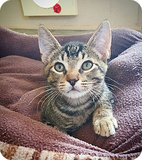 Domestic Shorthair Cat for adoption in Fredericksburg, Texas - Remus