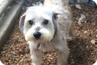 Schnauzer (Miniature) Mix Dog for adoption in Bedminster, New Jersey - Acorn