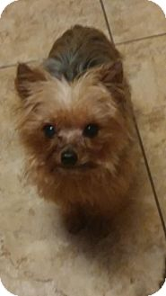 Yorkie, Yorkshire Terrier Dog for adoption in Naples, Florida - Sam