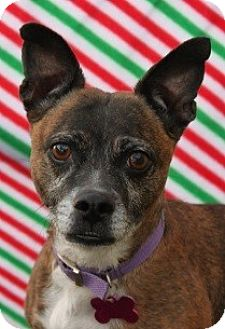 Boston Terrier/Chihuahua Mix Dog for adoption in Las Vegas, Nevada - Patsy Cline