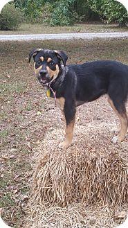 Shepherd (Unknown Type)/Labrador Retriever Mix Dog for adoption in Manchester, Connecticut - Rosie-pending adoption