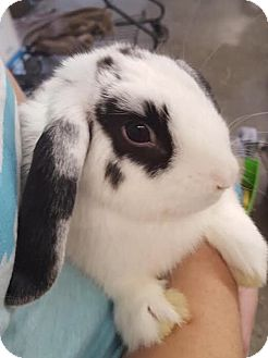 Lop-Eared Mix for adoption in Los Angeles, California - Hannah
