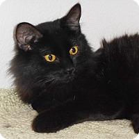 Adopt A Pet :: Versace - North Highlands, CA