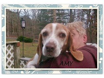 Beagle Dog for adoption in Ventnor City, New Jersey - AMY