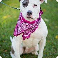 Pit Bull Terrier Mix Dog for adoption in Blacklick, Ohio - Sydney