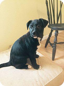 Labrador Retriever Mix Puppy for adoption in waterbury, Connecticut - Hugh