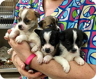 Eskimo Spitz Mix Puppy for adoption in North Wilkesboro, North Carolina - Spitx Mix Puppies