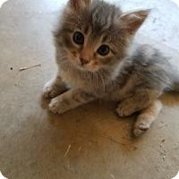 Adopt A Pet :: Shasta-PENDING ADOPTION! - Tracy, CA