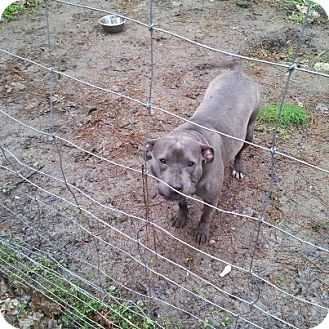 American Pit Bull Terrier Dog for adoption in Yamhill, Oregon - Ella