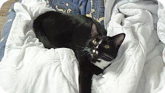 Domestic Shorthair Cat for adoption in Riverside, Rhode Island - Otis