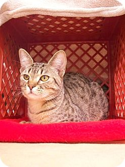 Domestic Shorthair Kitten for adoption in Fountain Hills, Arizona - BLOSSOM