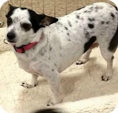 Chihuahua Mix Dog for adoption in Mesa, Arizona - Lola
