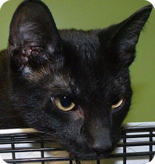Domestic Shorthair Kitten for adoption in Muskegon, Michigan - Ziggy