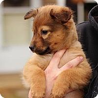 Adopt A Pet :: Chet - Reisterstown, MD