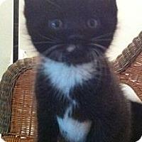 Adopt A Pet :: Tux - Reston, VA
