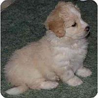 Adopt A Pet :: Fozzy - Toronto/Etobicoke/GTA, ON