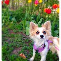 Adopt A Pet :: Lexie - Shawnee Mission, KS