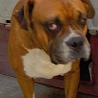 Adopt A Pet :: Boxer Boy - San Diego, CA