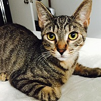 Domestic Shorthair Cat for adoption in Los Angeles, California - Penny
