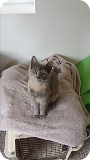 Domestic Shorthair Kitten for adoption in Cedar Springs, Michigan - Casey