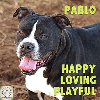 Boxer Mix Dog for adoption in Washburn, Missouri - Pablo Picasso