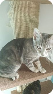 Domestic Shorthair Kitten for adoption in Brightwaters,, New York - Lucy