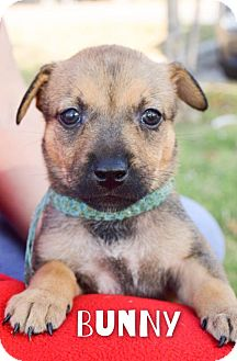 Australian Cattle Dog Mix Puppy for adoption in DFW, Texas - Bunny