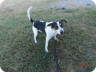 Treeing Walker Coonhound/Beagle Mix Dog for adoption in MC KENZIE, Tennessee - BOBBIE