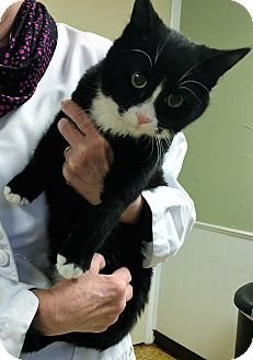 Domestic Shorthair Cat for adoption in Toledo, Ohio - Noah