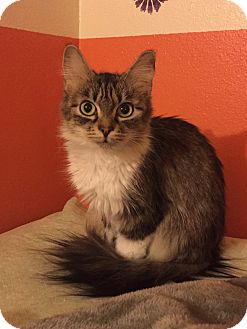 Domestic Mediumhair Cat for adoption in Colorado Springs, Colorado - Kindy