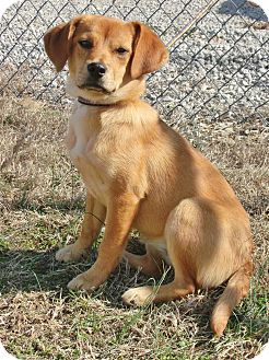 Beagle/Golden Retriever Mix Puppy for adoption in Somerset, Kentucky - Honey- ADOPTED