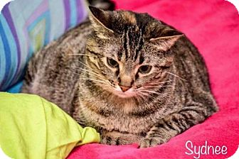 Domestic Shorthair Cat for adoption in Florence, Kentucky - Sydnee