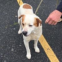 Adopt A Pet :: Bandit - Nashua, NH