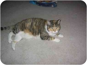 Domestic Shorthair Cat for adoption in Quincy, Massachusetts - Cali