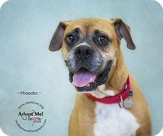 Boxer Dog for adoption in Phoenix, Arizona - Phaedra