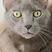 Russian Blue Cat for adoption in Hilton Head, South Carolina - Jax