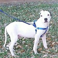 American Bulldog/Terrier (Unknown Type, Medium) Mix Dog for adoption in Houston, Texas - Barney