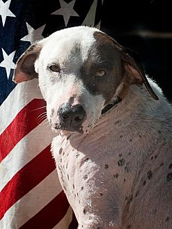 Dalmatian Mix Dog for adoption in Houston, Texas - Nataly