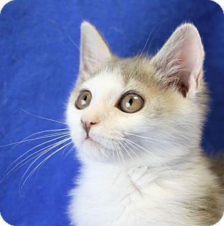 Domestic Shorthair Kitten for adoption in Winston-Salem, North Carolina - Bunny