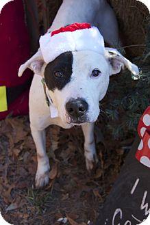 American Pit Bull Terrier Mix Dog for adoption in Bishopville, South Carolina - Petey