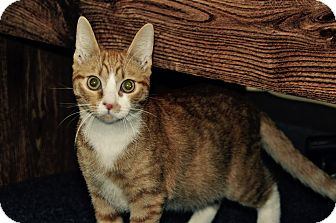 Domestic Shorthair Cat for adoption in Lakeland, Florida - PJ