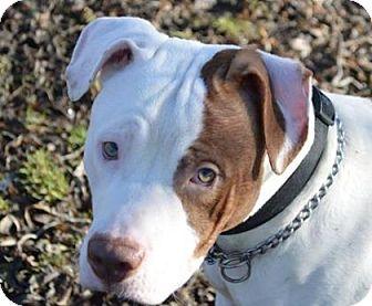 Pit Bull Terrier Mix Dog for adoption in Ashtabula, Ohio - Chance