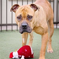 Adopt A Pet :: CoCo - Wethersfield, CT