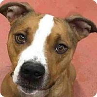 Adopt A Pet :: BODIE - Missoula, MT